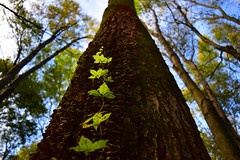 Growing Up (jna.rose) Tags: growing up nikon nature fall autumn trees leaves green blue bark photography naturallight light perspective d5300 leaf