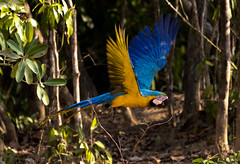 Colourful flight in the forest (paolo_barbarini) Tags: parrot ara macaw birds pantanal brazil wildlife forest nature flight pappagallo uccelli colors