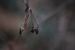 When The Lights Get Softer - The Nature Begins To Sleep... (wowafo) Tags: vergänglichkeit makro macro naturenatur wabisabi soft colors fall autumn herbst winter lichter lights