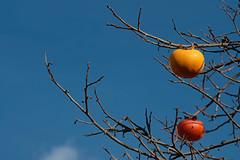 cachi sul blu (♥iana♥) Tags: vino uva grape vendemmia autunno autumn fall rosso red vite vigna grapevine montemarano avellino campania italia