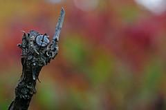 l'ora del tè (♥iana♥) Tags: vino uva grape vendemmia autunno autumn fall rosso red vite vigna grapevine montemarano avellino campania italia