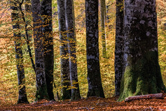 Irati (cruzjimnezgmez) Tags: otoño colorotoñal hojassecas airelibre hojas arbol españa navarra irati bosque selva