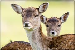 Fallow deer (GaseousClay1) Tags: damadama fallowdeer nature wildlife nationaltrust charlecote habitat warwickshirewildlifetrust portrait charlecotenationaltrust