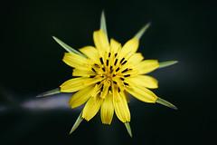 StarFlower  - macro - sony a7iii - sigma 70mm macro (DonKamilo1984) Tags: flower star central yellow green nature natur blume pflanze schön sony sigma macro makro