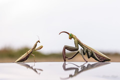 """""""Rencontre Dé'Mante..."""" (regisfiacre) Tags: mante religieuse praying mantis religiosa mantodea mantidae polyneoptera mantoptère bokeh insect insecte insekt bug bugs nature sauvage wild wildlife macro macrophoto macrophotography macrophotographie canon 5div mark iv 4 plein format full frame sigma 150mm apo ex dg os hsm moselle france"""