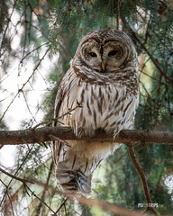 Barred owl (pixontrips) Tags: fletcherwildlifegarden ottawa animal barredowl bird birdofprey canada conifer fall nature november ontario owl perch tree wild wildlife