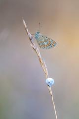 Aricia agestis (fabriciodo2) Tags: polyommatusicarus papillon nature macro forêtdefontainebleau argus