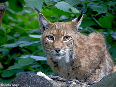 Eurasian Lynx - Zoo Duisburg (Mandenno photography) Tags: animal animals eurasian eur luchs lynx dierenpark dierentuin dieren duitsland duisburg zoo zooduisburg ngc nature germany bigcat big cat cats