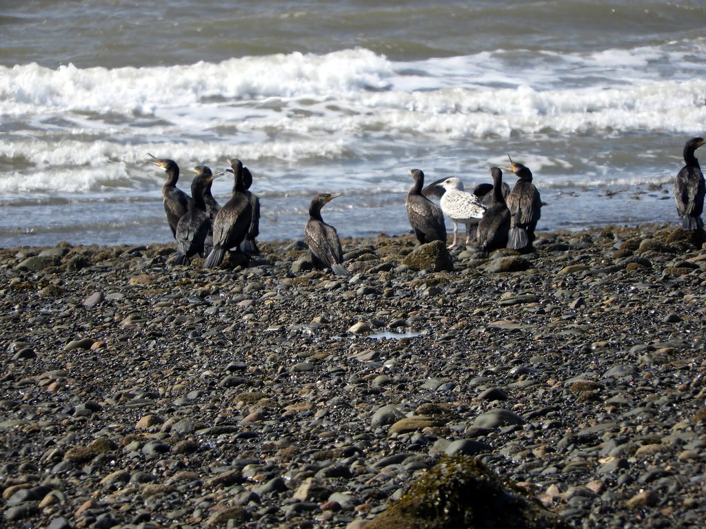 Shags on Sandy Gap Beach