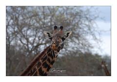 Portrait de girafe (Claire PARMEGGIANI Photos) Tags: africa africangallery africanlife africanwildlife eastafrica gamedrive kenya giraffe safari tsavo wildlife wildafrica