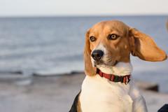 Hund am Strand (Professor Besserwisser) Tags: dog perro porträt portrait nikond3400 nikkor50mmf18 hohenfelde strand tiere ostsee hundestrand tierporträt hundeporträt retrato