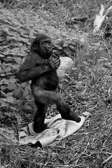 Gorilla (Rob Spruijt) Tags: gorilla diergaarde blijdorp rotterdam