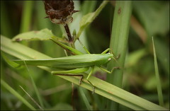 Conehead Cricket (catb -) Tags: france saintgeniès conocéphalegracieux conocéphalemandibulaire coneheadcricket ruspolianitidula cricket insect macro dordogne