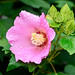 Rose of Sharon (Hibiscus syriacus) in the rain : 雨に濡れるムクゲ