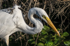 Great Egret Snacking (MelRoseJ) Tags: lodi california unitedstates us sonyalpha sony sal70200g a77ii alpha birds woodbridgeecologicalreserve nature northerncalifornia greategret egret