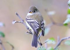 least flycatcher at Cardinal Marsh IA 653A2515 (lreis_naturalist) Tags: least flycatcher cardinal marsh winneshiek county iowa larry reis