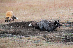 Momma Fox teaching digging (jeff's pixels) Tags: fox kit animal cute field washington pnw nikon d850 foxes sanjuanisland pacificnorthwest train bus bird explore