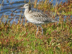 Curlew-Malltraeth estuary  DSCN1641 (ianpreston) Tags: 2016 wales isleofanglesey anglesey curlew sparrow malltraethestuary