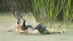 You're gonna pay.. (Earl Reinink) Tags: bird water fight fighting pond ducks marsh splash spray bubbles outdoors nature wildlife animal waterfowl woodduck earl reinink earlreinink oddjazdza