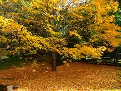 """Autumn ... the year's last, loveliest smile.""  - William C.  Bryant (Trinimusic2008 -blessings) Tags: trinimusic2008 judymeikle nature fall autumn october 2018 trees leaves colour color gta greatertorontoarea vaughn ontario canada sonydschx80"