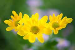 chrysanthemum 5400 (junjiaoyama) Tags: japan flower plant chrysanthemum mum yellow autumn fall macro bokeh