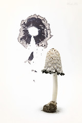 Shaggy Mane (Masako Metz) Tags: shaggy mane mushroom fall nature edible season tabletop stillife