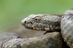 Crotalus aquilus (Matthieu Berroneau) Tags: trip mexique mexico sony alpha macro nature france herpéto wildlife animal animaux ff 24x36 full frame a7ii 7ii 7mk2 sonyilce7m2 herping herpeto reptile reptilian reptilia serpent serpente snake serpentes snakes serpiente field serpents sonya7ii sonya7mk2 sonyalpha7mark2 sonyalpha7ii 90 28 fe f28 g oss fe90f28macrogoss sonyfesonyfe2890macrogoss objectifsony90mmf28macrofe sel90m28g herpmex queretaran dusky rattlesnake queretaranduskyrattlesnake crotalus aquilus crotalusaquilus crotale cascabel obscura de querétaro cascabelobscuradequerétaro cascabeldequerétaro