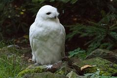 Sneeuwuil - Snowy owl (Den Batter) Tags: nikon d7200 zooparc overloon sneeuwuil snowyowl buboscandiacus