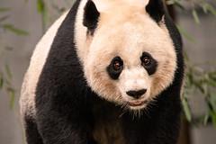 Panda Look 3-0 F LR 10-7-18 J057 (sunspotimages) Tags: animal animals nature wildlife panda pandas zoos zoosofnorthamerica zoo nationalzoo fonz fonz2018