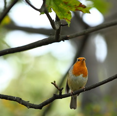 Early Robin (Barry Miller _ Bazz) Tags: outandabout ef70200f28lii wildbirds naturetrail naturephotography wildlifephotography outdoorphotography canon5d3 canonlens victoriaparkwidnes nature wildlife bird robin