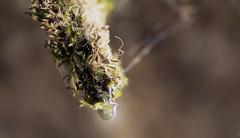 Filibuster (Vanessa wuz Here) Tags: 90mm macro macroflora drop droplets athabascafalls jaspernationalpark water autumn fall alberta colours solo color everyimagetellsastory copyrightvanessabartosek