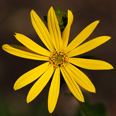 Friday's Flower Power (AnyMotion) Tags: cupplant durchwachsenesilphie silphiumperfoliatum blossom blüte 2018 floral flowers botanischergarten frankfurt plants pflanzen anymotion 7d2 canoneos7dmarkii colours colors farben yellow gelb autumn fall herbst automne otoño macro makro makroaufnahmen