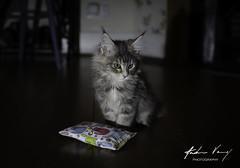 Maine Coon Kitten Hannah (andrew.varney) Tags: cats kitten mainecoon nikon pets animals d5100