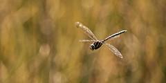 Æschne bleue (Amanda Hinault - 風流韻事) Tags: ccbysa photobyamandahinault creativecommons pentax pentaxk1ii pentaxart macro proxi details insecte bugs libellulle dragonfly