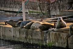 Seven seals (Reva G) Tags: seal mammal animal pinniped family wildlife nature northvancouver northshore