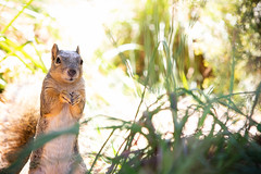 Hearing what sounded like the smashing of a car window, Constable Pecans stood and looked out towards the street for a minute, but then went back to foraging for lunch. (HellaDamnSquirrels) Tags: squirrels rodent oakland lake merritt hella damn