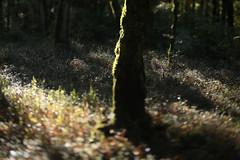 Mount Talbert (Tony Pulokas) Tags: mounttalbert mttalbert mounttalbertnaturepark portland oregon tree forest blur autumn fall tilt bokeh oak oregonoak moss