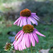Coneflower Ending It's Season - Atlanta Botanical Garden