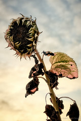 Sunflower's Death