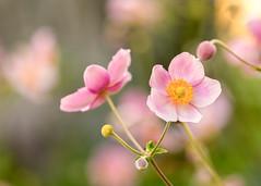 Japanese Anemones (mclcbooks) Tags: flower flowers floral macro closeup japaneseanemone anemones denverbotanicgardens colorado