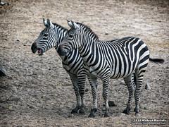 Zebra's (Roelofs fotografie) Tags: wilfred roelofs fotgrafie nikon d5600 2018 animals animal holland dutch neterlands nature natuur zoo burgerzoo burgerszoo dieren dierentuin dierenpark arnhem outdoor zebra sand black white blackandwhite