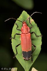 Chauliognathus lecontei (aliceinwl1) Tags: az arizona arizona2018 arthropod arthropoda cantharidae chauliognathinae chauliognathini chauliognathus chauliognathuslecontei chiricahuamountains cochisecounty coleoptera elateroidea insect insecta polyphaga serieselateriformia soldierbeetle beetle lecontei locpublic viseveryone