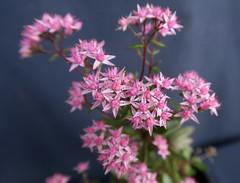 Hylotelephium 'Jade Truffet' (Nessy apprentie en rangement) Tags: hylotelephium succulent sedum crassulaceae agl