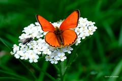 Cuivré de la verge-d'or (jpto_55) Tags: papillon cuivrédelavergedor proxi xe1 fuji fujifikm fujixf55200mmf3548rlmois hautegaronne france
