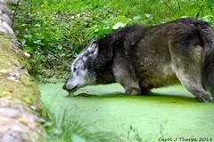 Grey Wolf-Paddle (CJT29( not enough hours in the dayl)) Tags: hampshire cjt29 greywolf canislupusoccidentalis newforestwildlifepark ashurst mammal carnivore captive