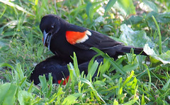 Red-winged Blackbird Death Match 22 (Kaptured by Kala) Tags: agelaiusphoeniceus redwingedblackbird blackbird maleredwingedblackbird whiterocklake dallastexas sunsetbay loud noisy closeup battle fighting territorial aggressive