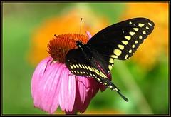 IMG_8530 Heart & Flower 7-9-18 (arkansas traveler) Tags: butterfly blackswallowtail bokeh bokehlicious zoom telephoto flower echinacea milkweed nature naturewatcher natureartphotography