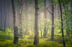 Forest (tom.sk) Tags: forest woodland green mist fog