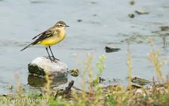 Yellow Wagtail (Ponty Birder) Tags: g b wheeler garywheeler pontybirder birds england wagtail