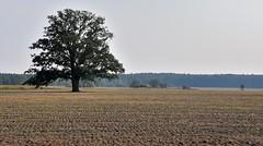 lonely tree (rafasmm) Tags: łódź lodz around village bełdów poland polska europe tree lonely nature outdoor color nikon d90 nikkor 18105 afs